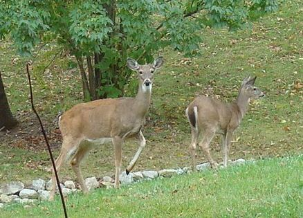 Small deer in our backyard
