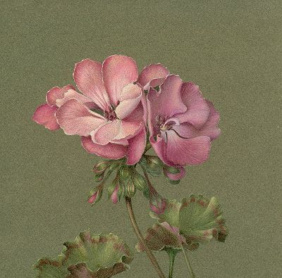 Geraniums Colored Pencil Tutorial